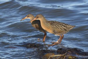 Ridgway's Rails and Adaptive Tidal Marsh Restoration