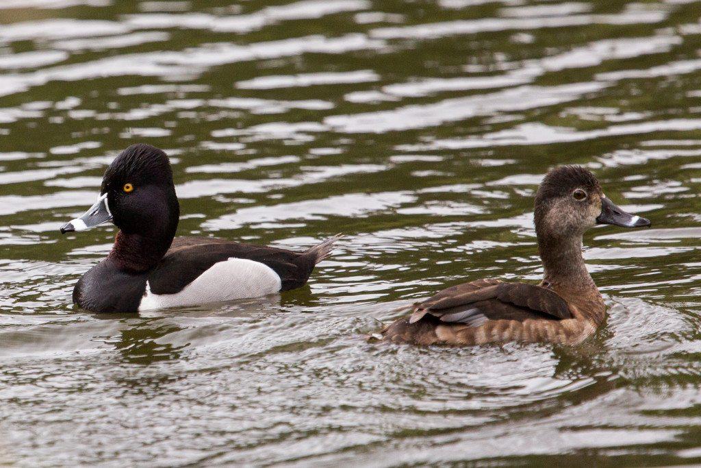 Ring-necked Ducks, photographed during Birdathon 2015 by Dan Harris