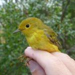 sfbbo_yellowarbler