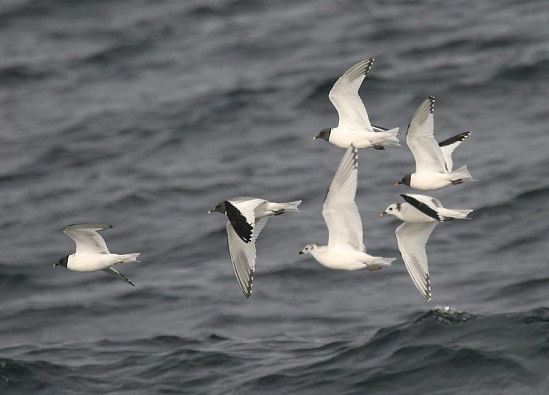 Sabine's Gulls by Glen Tepke