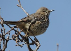 Sage Thrasher at Lake Del Valle / Photo by Vicki Robinson