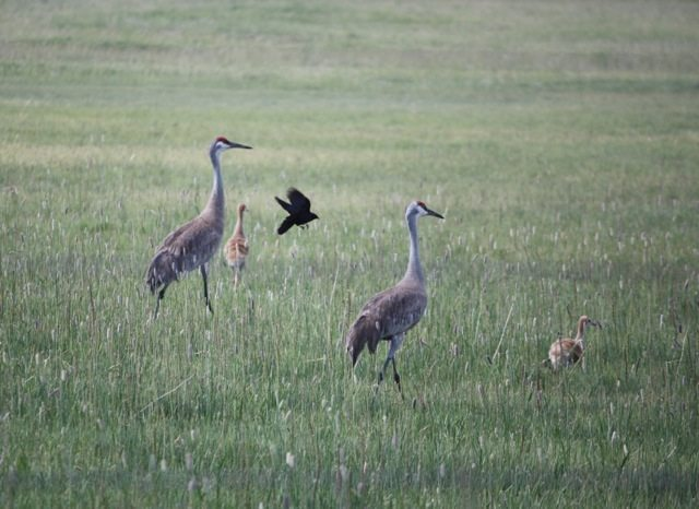 Adult and juvenile Sandhill Cranes by John Tysell