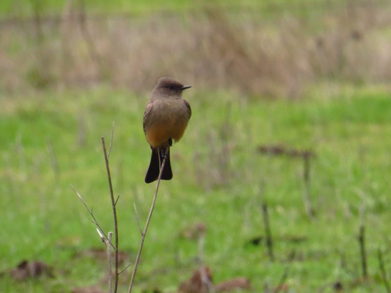 Say's Phoebe in the San Pablo Dam Reservoir count area, by Pamela Llewellyn