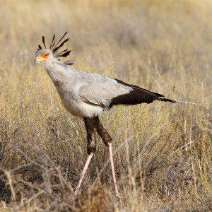 Secretary Bird from South Africa trip by Adam Riley