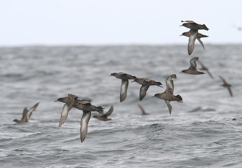 Sooty Shearwaters by Glen Tepke