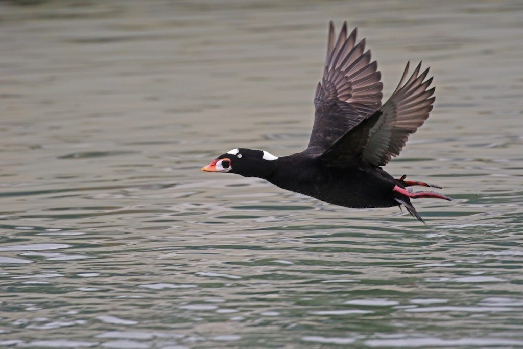 Surf Scoter, viewed by the South Boat count team, by Glen Tepke