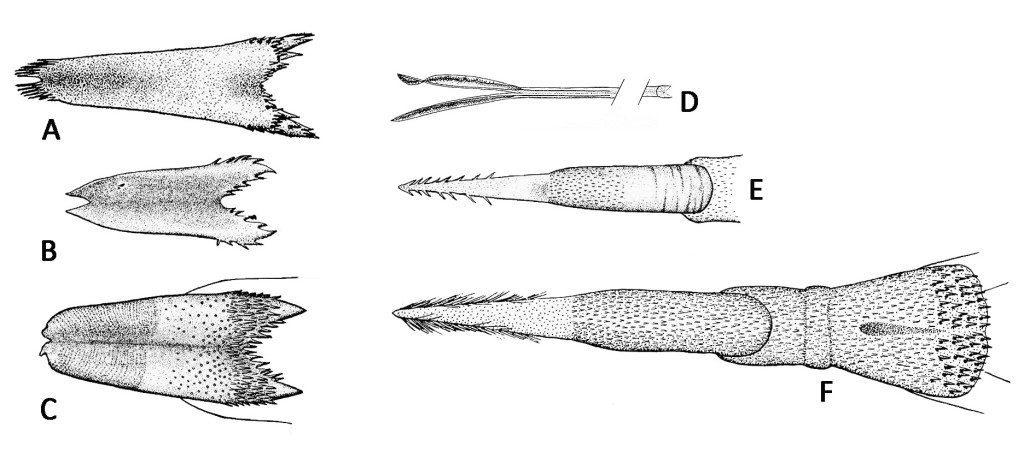Figure 1: (A) Northern Mockingbird, (B) Say's Phoebe, (C) American Kestrel, (D) Anna's Hummingbird (partial), (E) Nuttall's Woodpecker, (F) Acorn Woodpecker / drawings by L.L. Gardner, 1925