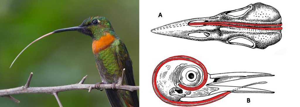 Figure 3: Hummingbird with tongue extended and furled together. Photo by Bob Lewis, www.wingbeats.org.  Figure 4: Pictures of the tongue and the supporting apparatus (red). A: shows how the horns go around the skull and terminate in the right nostril, e.g., Northern Flicker.  B: shows how the horns can go around the eye, e.g., picus. Modification of a picture from http://etc.usf.edu/clipart/