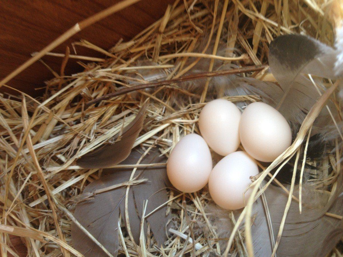 Tree Swallow eggs / Photo by Anthony DeCicco