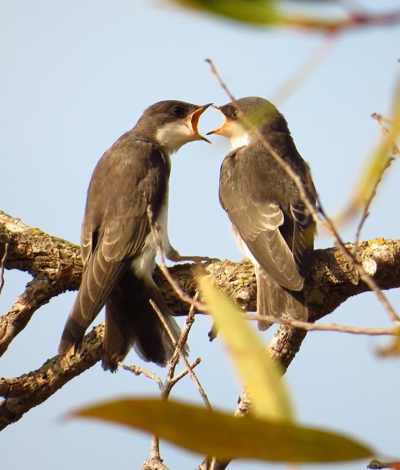 Juvenile Tree Swallows at Coyote Hills / Photo by Pamela Llewellyn