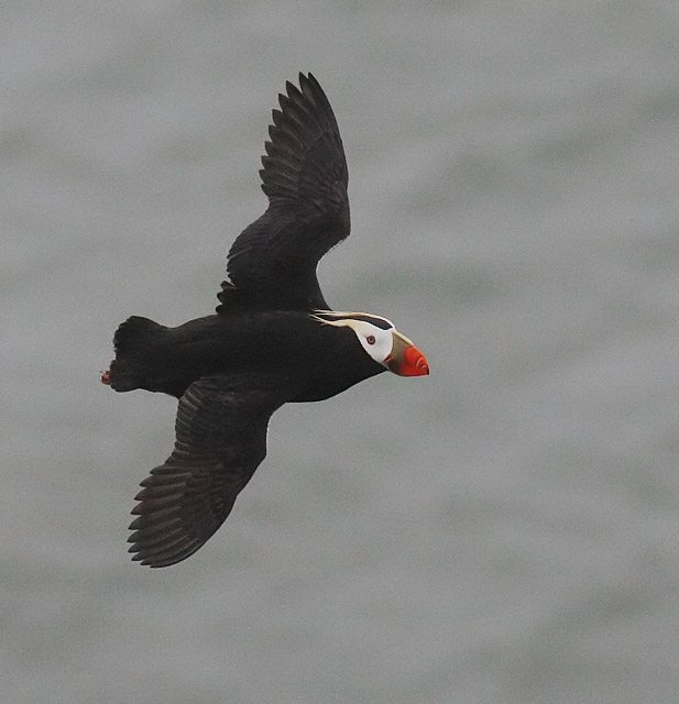 Tufted Puffin in breeding plumage. They breed on the Farallones. Photo by Glen Tepke.