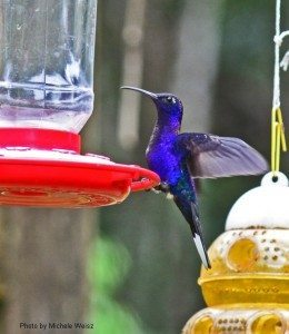 Violet Sabrewing / Photo by Michele Weisz