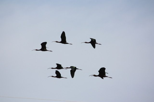 White-faced Ibis in flight by John Tysell