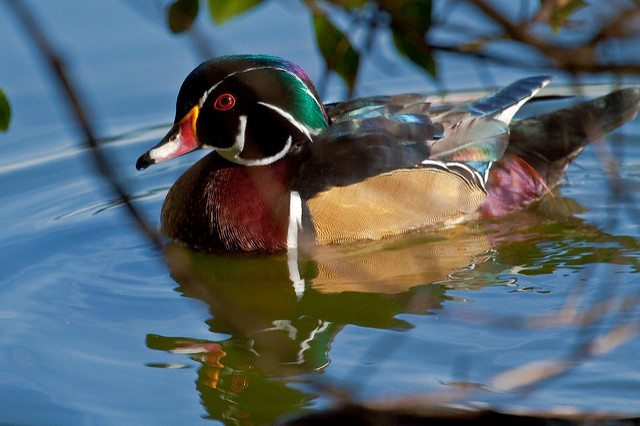 Male Wood Duck at Stow Lake / Photo by Ernest Gaudreau