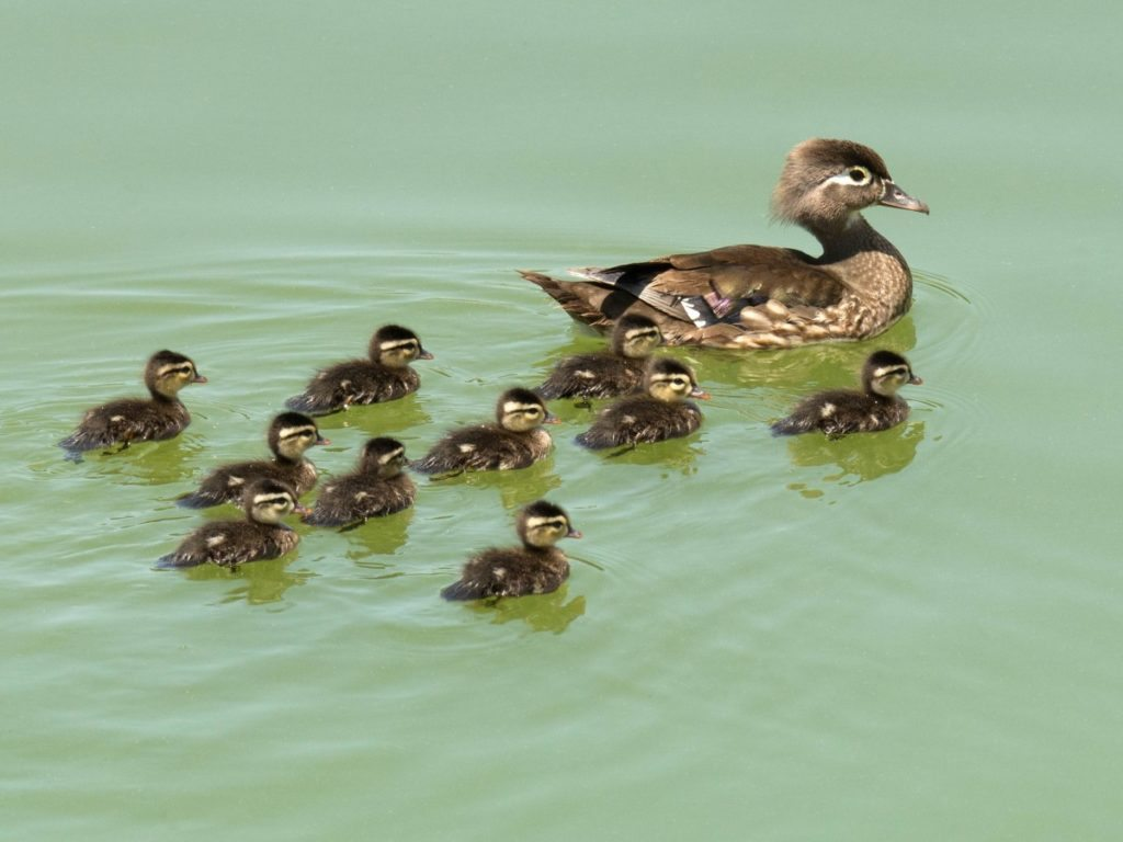 Female Wood Duck and ducklings at Niles Staging Area in Fremont / Photo by Roseanne Smith