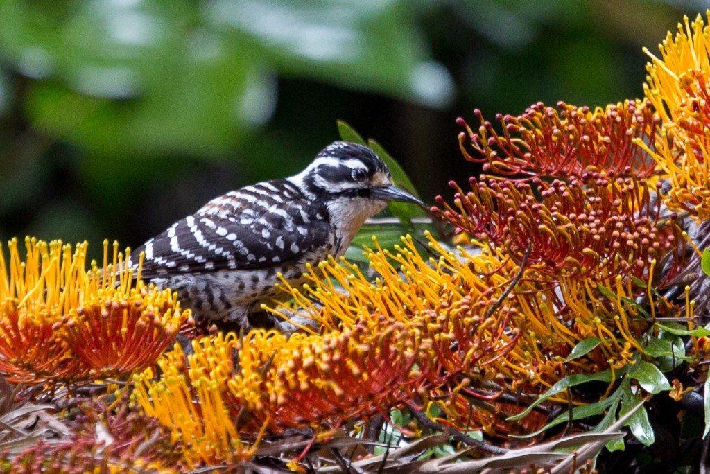 Nuttall's Woodpecker during Birdtahon 2015, by Dan Harris