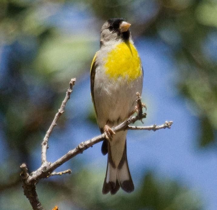 Lawrence's Goldfinch / Photo by Donna Pomeroy