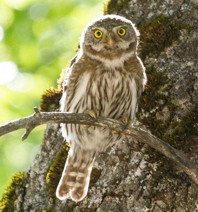 Pygmy Owl at Yosemite / Photo by Donna Pomeroy