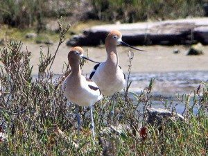 American Avocets at Pier 94 in San Francisco by lee Karney