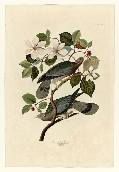 Band-tailed Pigeons, Plate 367 in Birds of America by John James Audubon