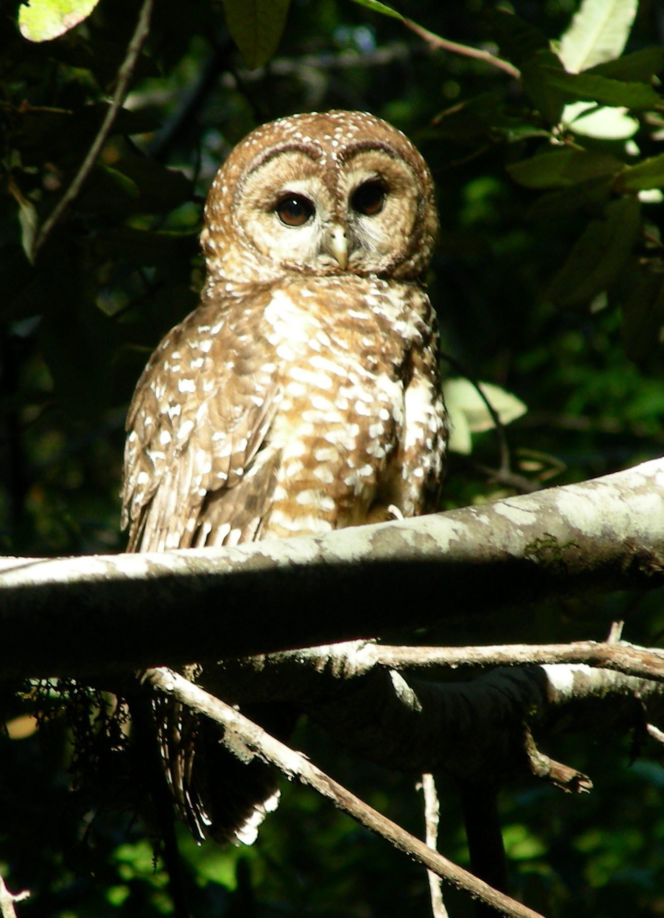 Barred and Spotted Owls, cousins and rivals - Golden Gate