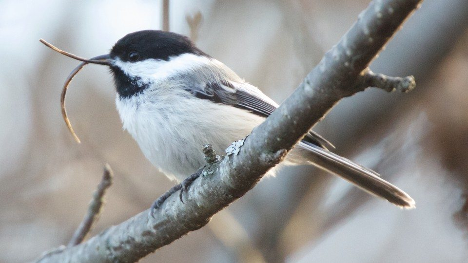 Black-capped Chickadee in Alaska with deformed bill / Photo by Martin Renner