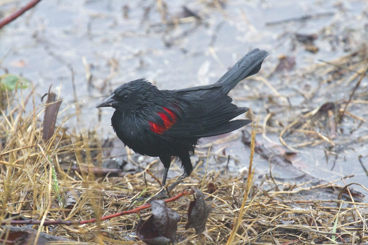 A wet Red-winged Blackbird / Photo by Rick Lewis