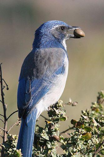 The Color Blue Golden Gate Audubon Society