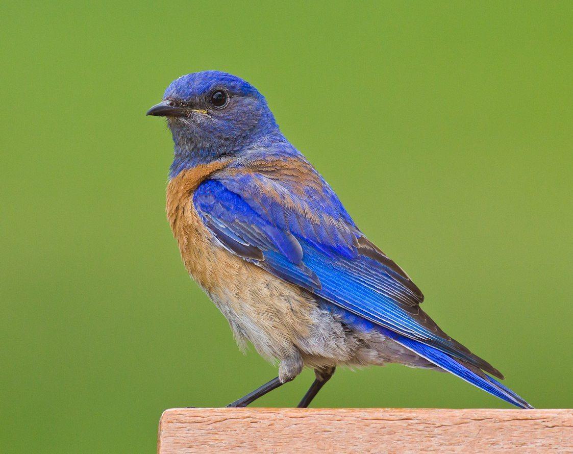 Bluebirds In Berkeley Again Golden Gate Audubon Society