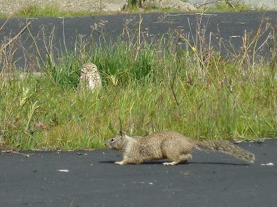 Burrowing Owl and ground squirrel at Cesar Chavez Park / Photo by Penelopedia