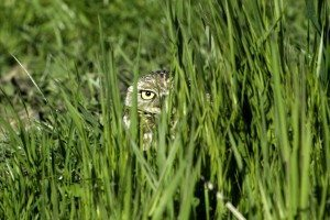 Burrowing Owl in March 2013 by Doug Donaldson