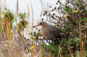 The obsoletus subspecies of Ridgway's Rail (formerly California Clapper Rail) / Photo by Bob Lewis
