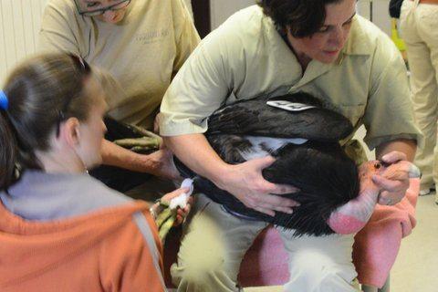 Condor rehabilitation at the Oakland Zoo / Photo by Oakland Zoo