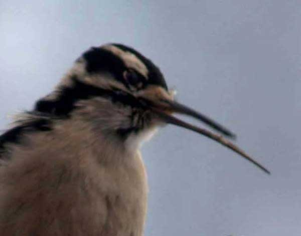 Downy Woodpecker with elongated beak, by James Tinius (USGS)