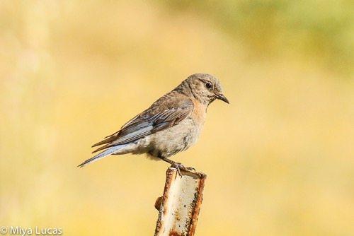 Female Western Bluebird / Photo by Miya Lucas