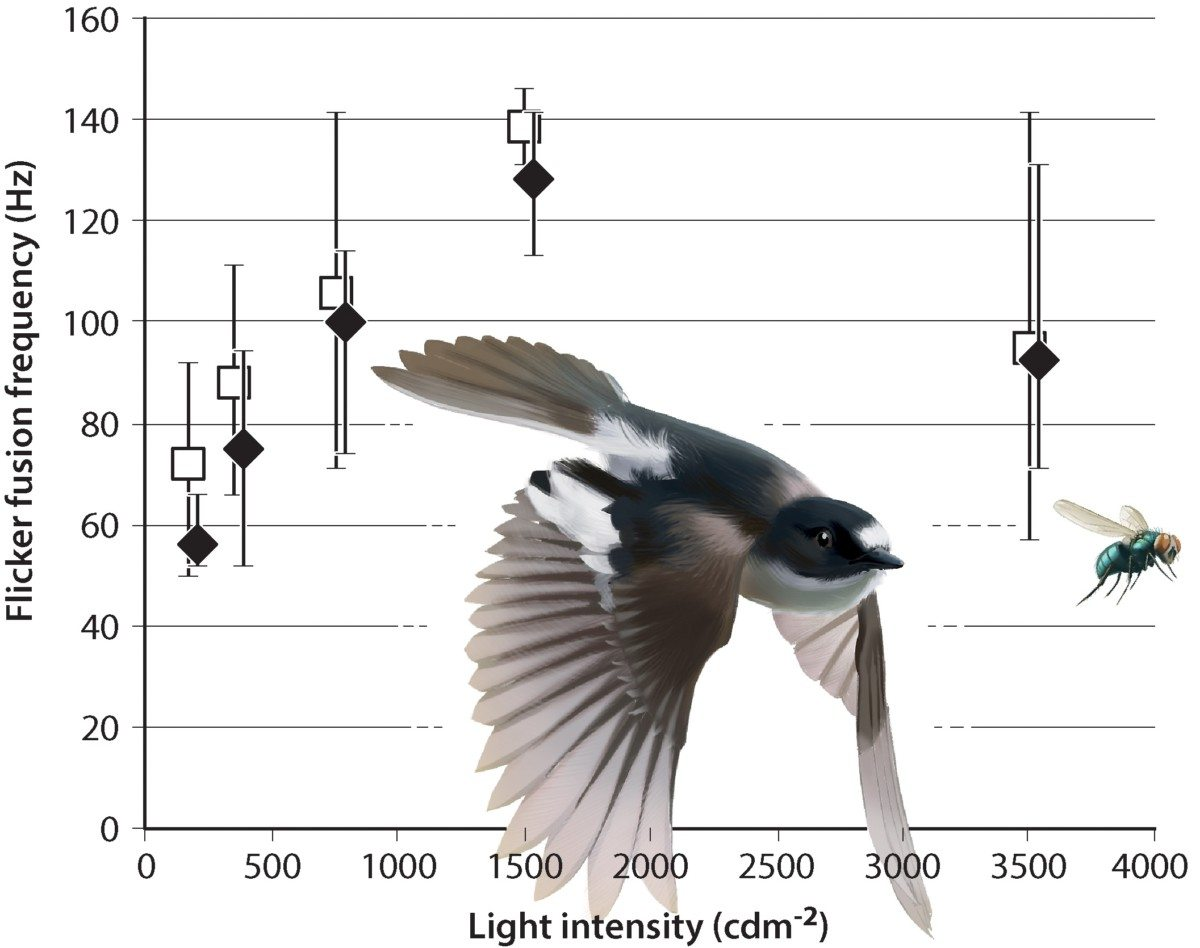 Flicker fusion frequencies for Collared (closed diamonds) and Pied Flycatchers (open squares). From PLoS One website. Averages are shown together with ranges for seven Collared and eight Pied Flycatchers tested repeatedly in different light intensities. Note that the speed of birds vision peaks in middle light intensities, when it is not too light and not too dark.