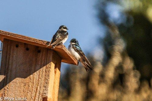 Nesting pair of Tree Swallows on Eco-ed nest box / Photo by Miya Lucas