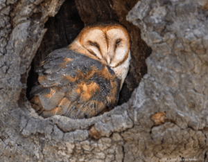 An Owl by Any Other Name - Golden Gate Audubon Society