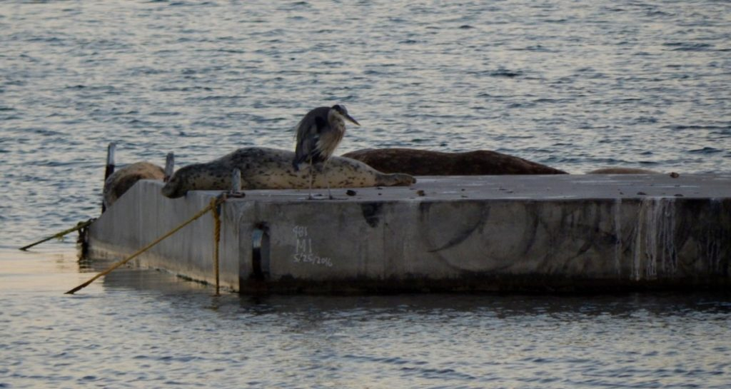 Harbor seals and Great Blue Heron on new floating dock