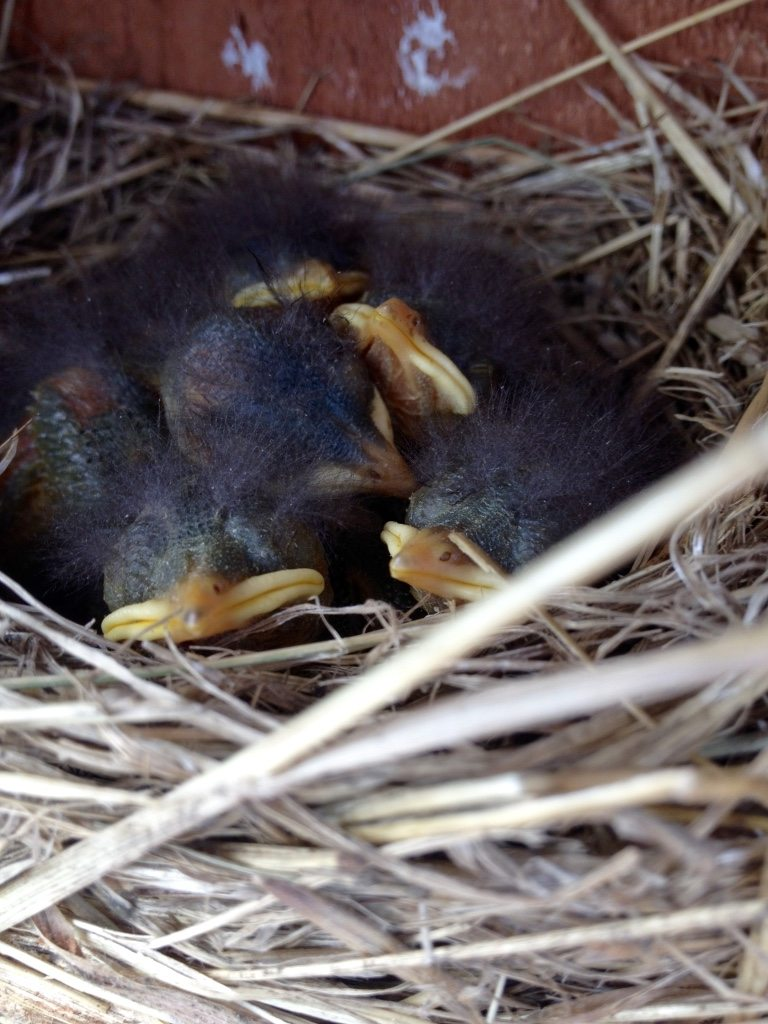 Bluebirds (about nine days old) inside box erected by the girls / Photo by Anthony DeCicco