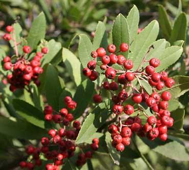 Toyon berries, a favorite of Cedar Waxwings