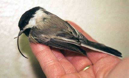 Black-capped Chickadee with overgrown upper mandible (USGS photo)