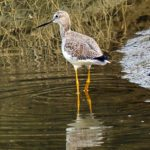 Greater Yellowlegs by Lee Friedman